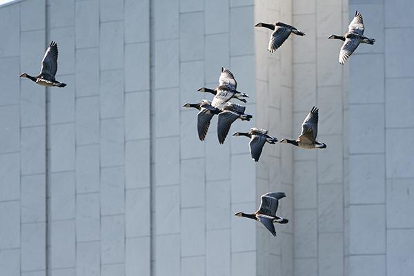 Poliisin dronet pysyivät maassa, kun hanhiparvi nousi ilmaan Finlandia-talon lähistöllä.